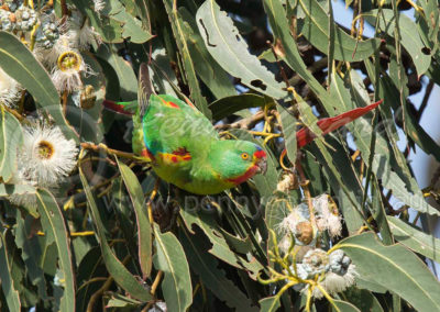 Swift Parrot SP2