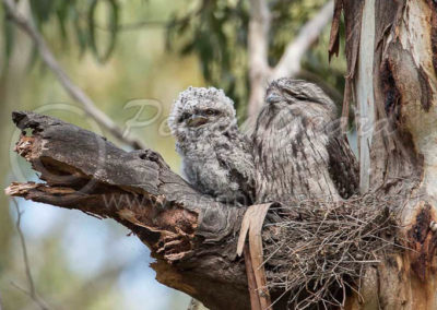 Tawny_Frogmouth_and_Juv_TFM_6_