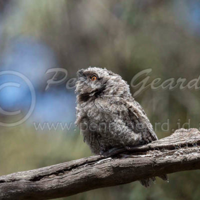 Tawny Frogmouth juvenile
