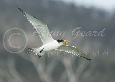 Crested Tern juv CT2