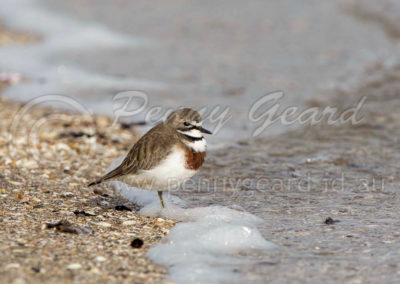 Double-banded Plover DBP1