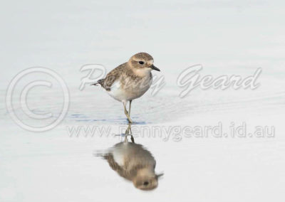 Double-banded Plover DBP2
