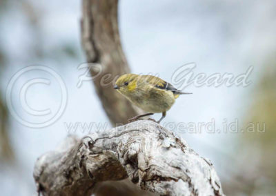 Forty-spotted Pardalote FSP10