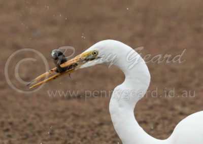 Great Egret GE2