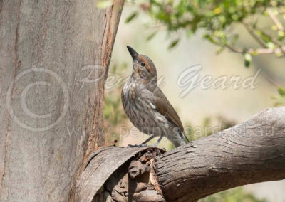 Grey Shrike-thrush juv GST5