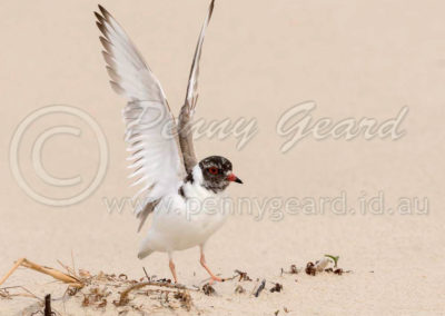 Hooded Plover HP3