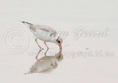 Hooded Plover juv HP4