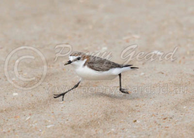 Red-capped Plover RCP1