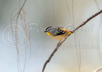 Spotted Pardalote male SPP1