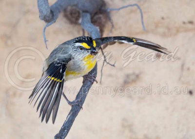 Striated Pardalote STP4