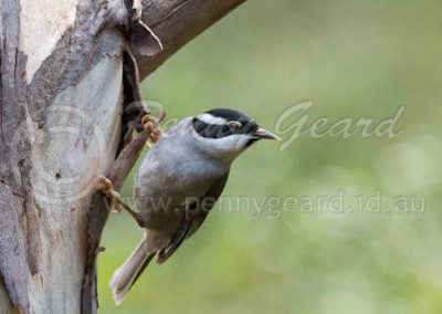Strong-billed Honeyeater