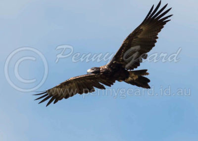 Tasmanian Wedge-tailed Eagle WTE11