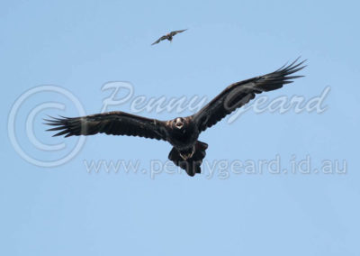 Wedge-tailed Eagle and_Dusky Woodswallow WTE10