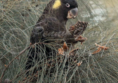 Yellow-tailed Black-Cockatoo YTBC5