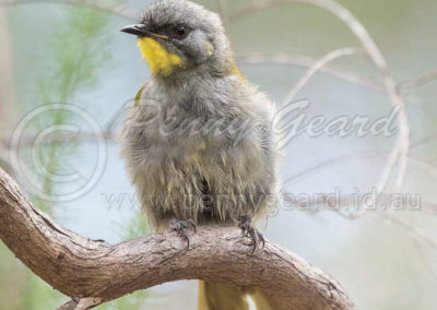 Yellow-throated Honeyeater
